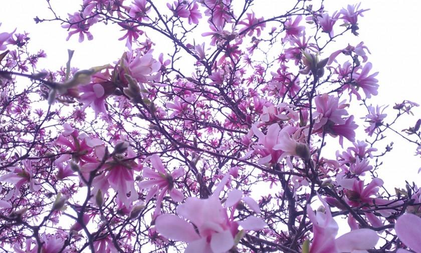 Pink magnolia | http://juliesaffrin.com